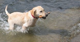 Labrador Retriever – The Most Popular Dog in America