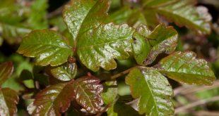 Poison Ivy, Oak, and Sumac