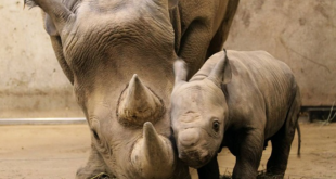 Black Rhinos: Critically Endangered