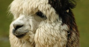Alpacas Cure Cancer