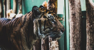 India's Tiger Population Grows
